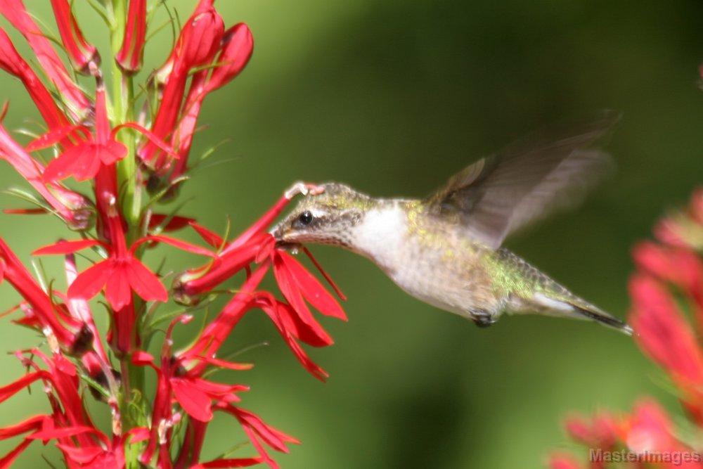 Cardinal Flowers Attract Hummingbirds | Amazing Flowers That Attract Hummingbirds To Keep In Your Homestead